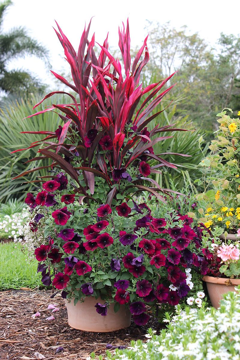 This container features burgundy petunias pink ti plant and white euphorbia Best in a little afternoon shade the ti plant also called Cordyline makes a