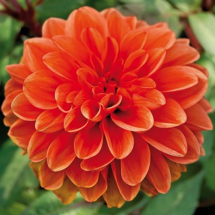 Decorative Dahlias Top Quality Size Dahlia Flower Dahlia Orange
