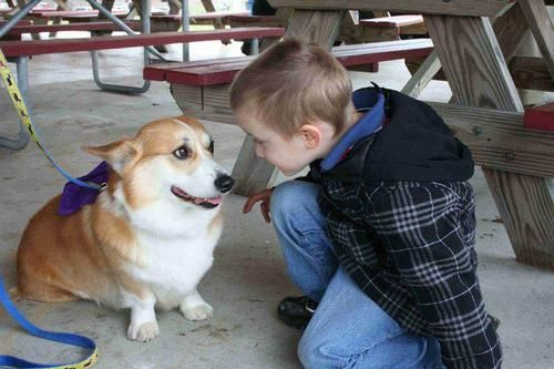 Alex the therapy Corgi greets a new friend :) #corgi