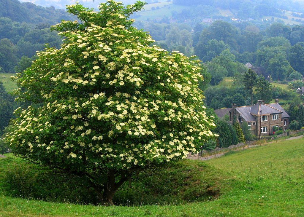 Lone Black Elder Tree In Derbyshire Elderberry Tree Elderberry Bush Flowering Cherry Tree
