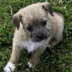 Adopt Coriander On Adoptable Dachshund Dog Dogs Cute Animals