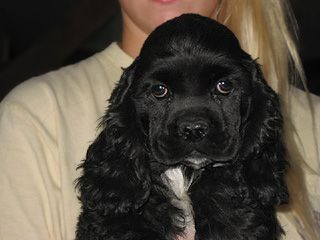 Pin By Tracey Kuyers On I Love Dogs Cocker Spaniel Puppies Black Cocker Spaniel Puppies Spaniel Puppies