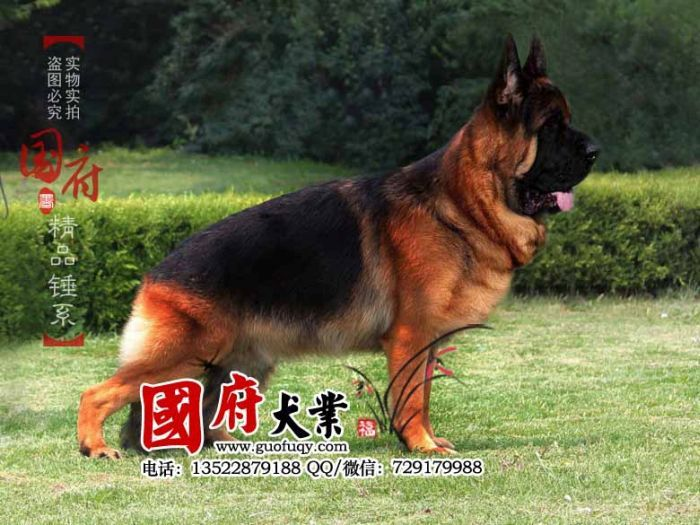 Unbelievably Large Chinese German Shepherd German Shepherd