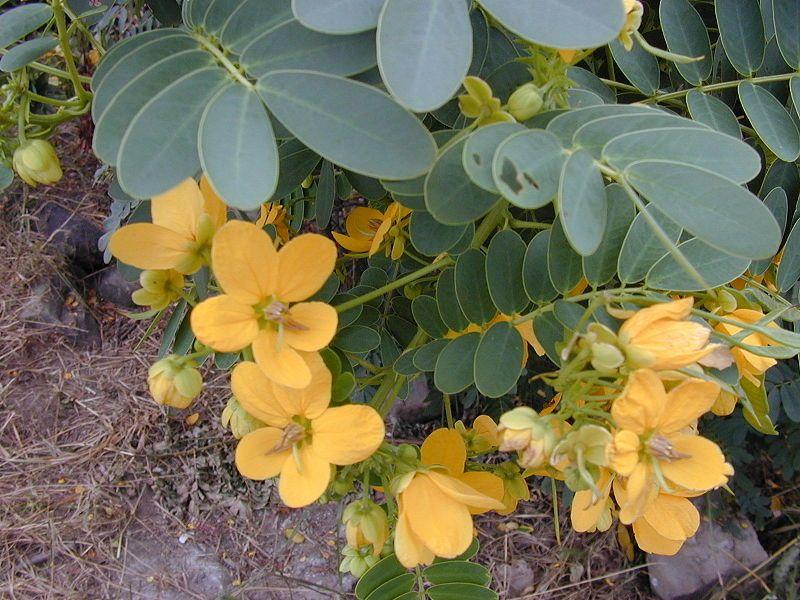 Senna Plant Plants Medicinal Plants Planting Flowers