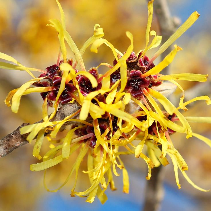 how to use witch hazel on your face