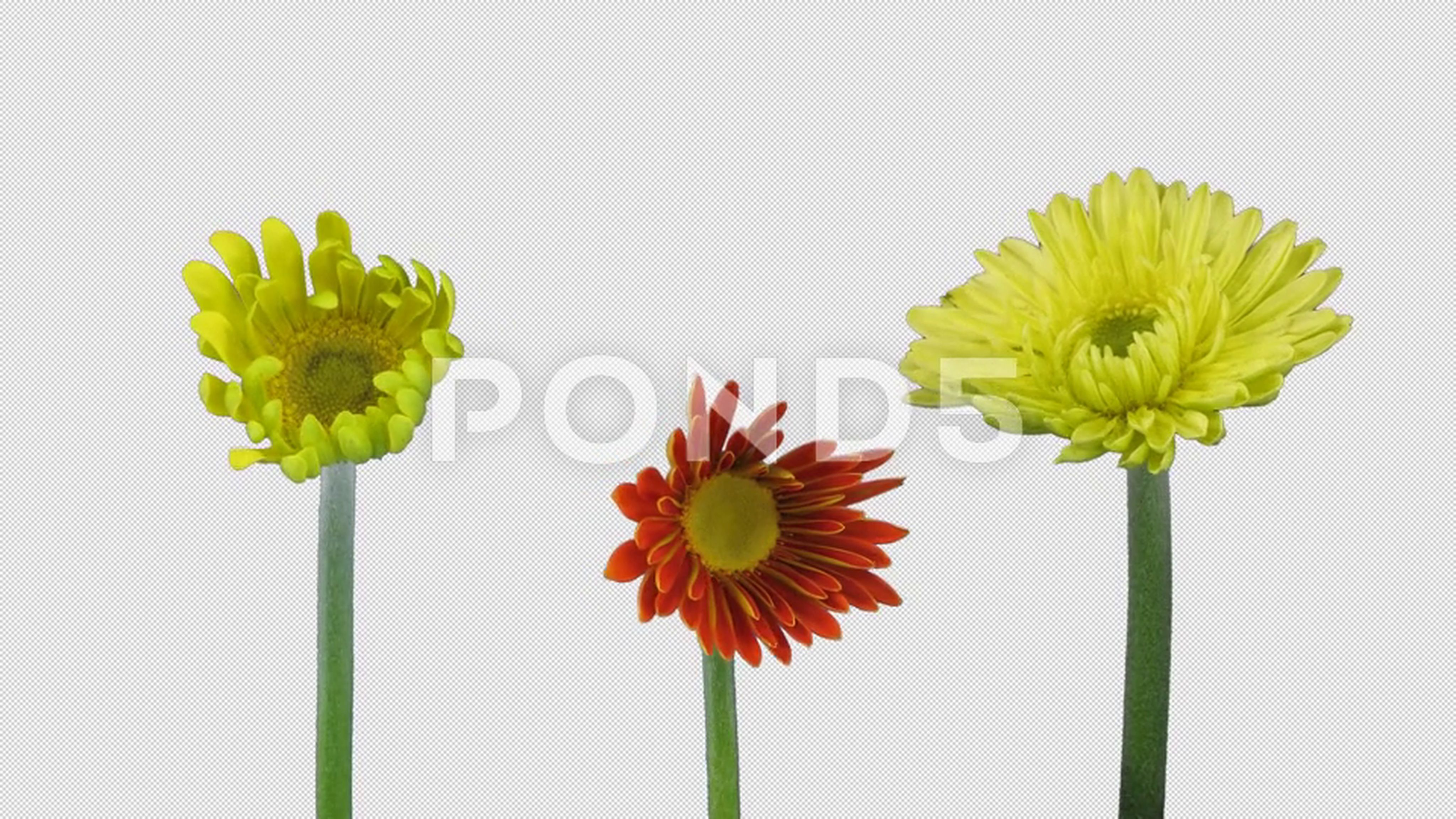 Time Lapse Of Opening Gerbera Flowers With Alpha Channel 4k Stock Footage Opening Gerbera Time Lapse Gerbera Flowers Alpha Channel