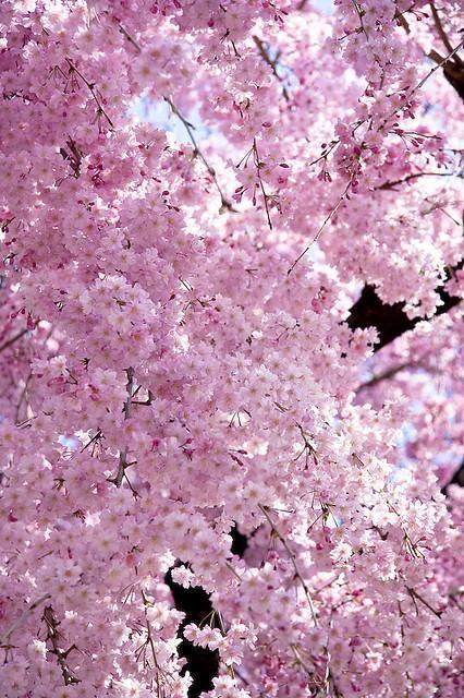 Debra Gifford Lovemyyorkie14 Blossom Trees Pink Blossom Cherry Blossom Tree