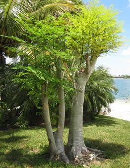 фото дерево моринга