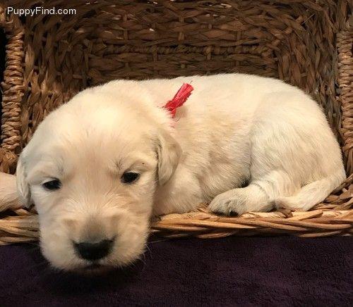 English Cream Gold Retriever Puppies For Sale At Puppyfind Com