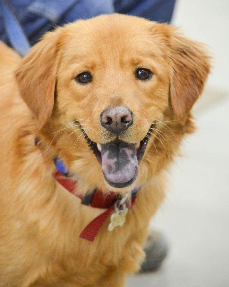 Adopt Happy on Golden retriever mix, Animal adoption and