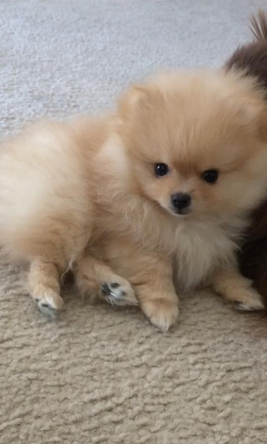 Pomeranian Puppies Male And Female In Hoobly Classifieds Cute Baby Animals Puppies Pomeranian Puppy