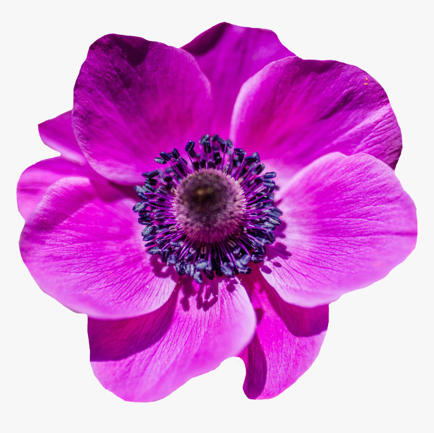 Purple Poppy Flower Png Transparent Png Is Free Transparent Png Image Download And Use It For Your Personal Or Non Commer Purple Poppies Poppy Flower Poppies