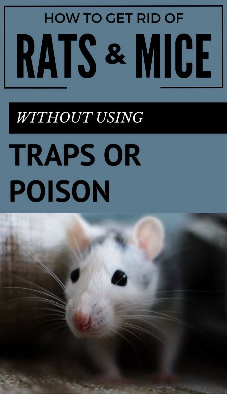Learn How To Get Rid Of Rats And Mice Without Using Traps Or Poison Getting Rid Of Rats Getting Rid Of Mice Rats