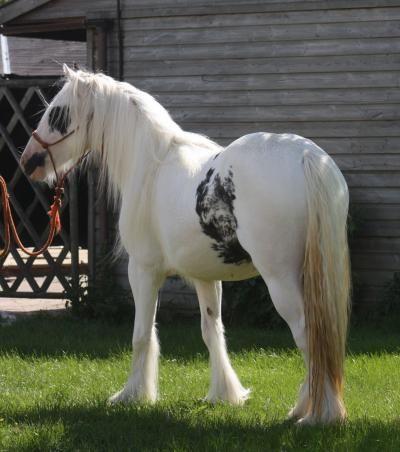Clononeen Odonata - Gypsy mare