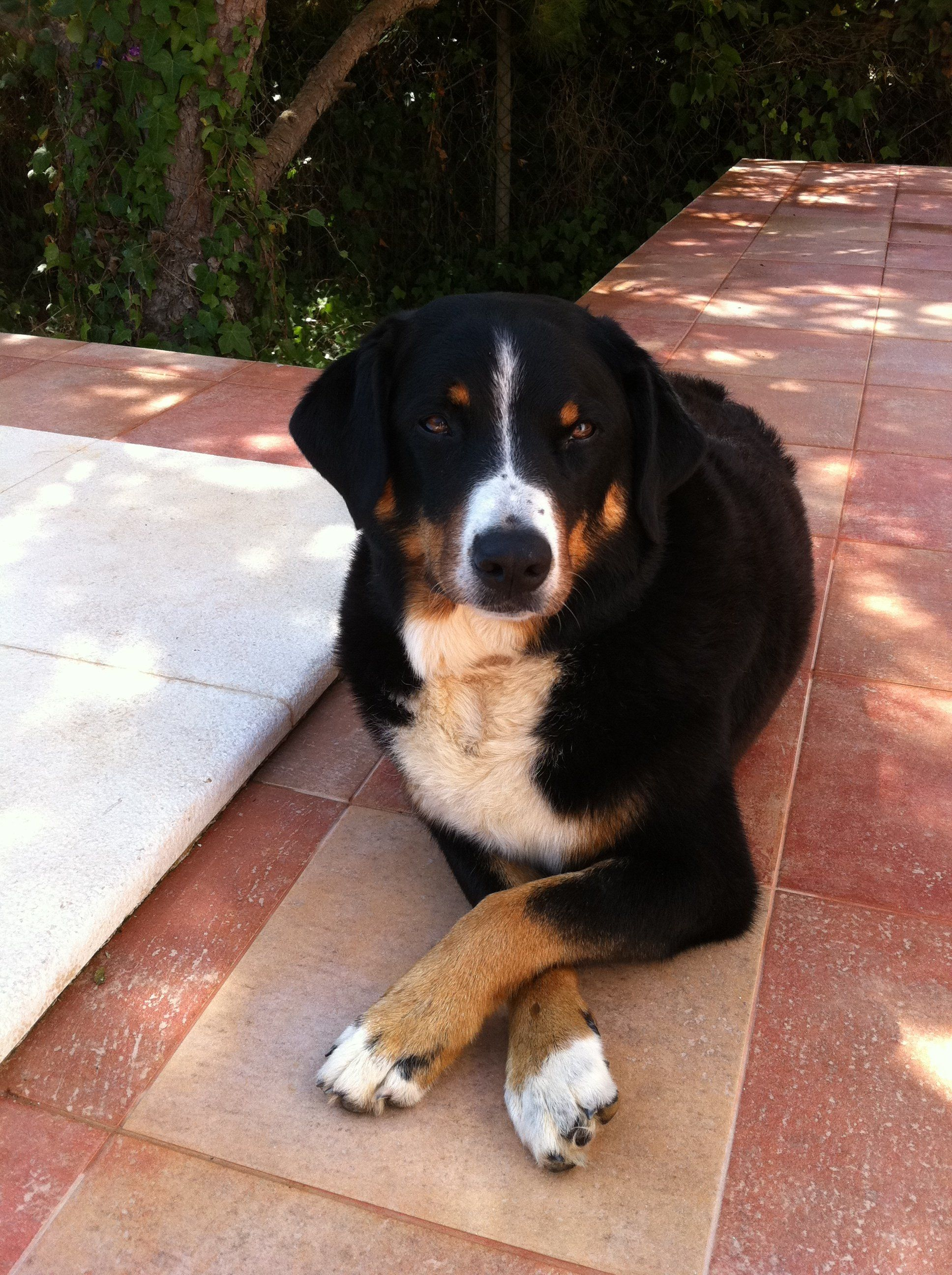 Max L Ein Appenzeller Sennenhund Bouvier Appenzellois Swiss Mountain Dog Swiss Mountain Dogs Greater Swiss Mountain Dog Dogs