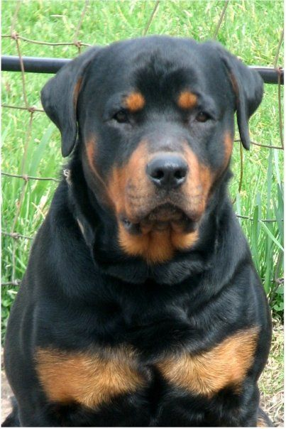 He Looks Like Don T Mess With Me Beautiful Dogs Rottweiler