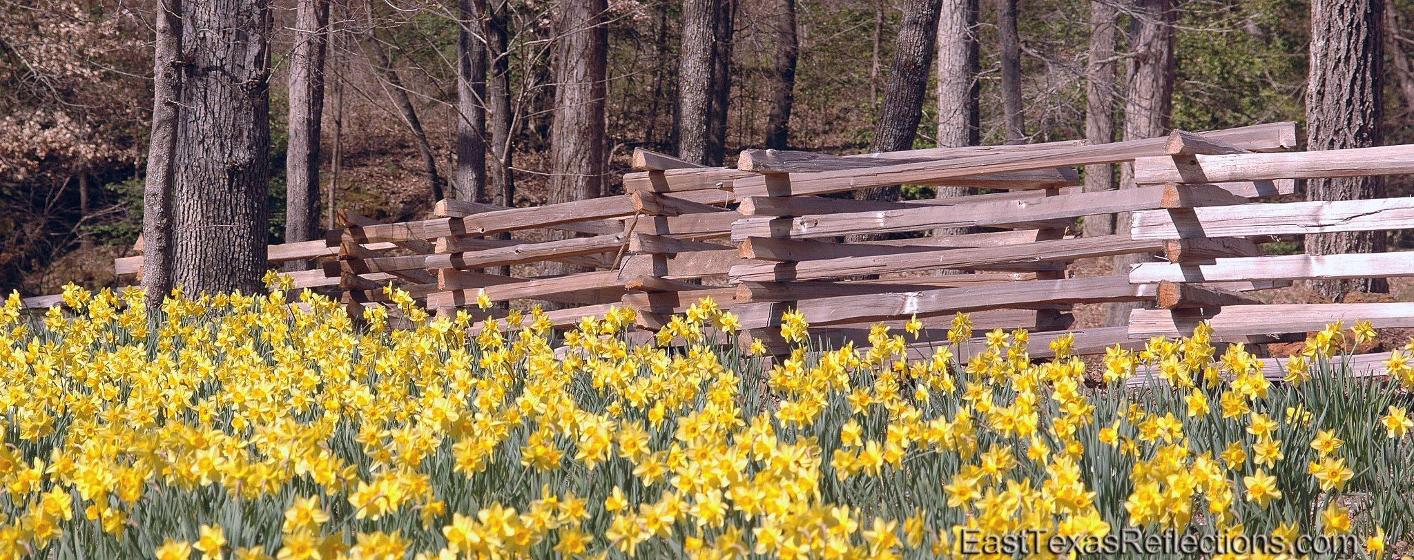 Split rail fences and brilliantly colored Daffodils | TEXAS ...