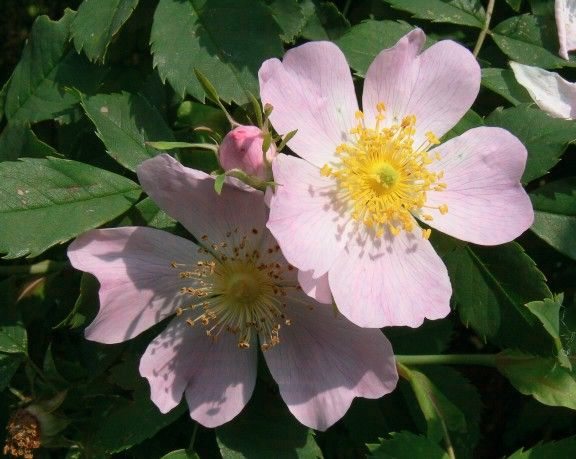 Flower Essences An Introduction Includes A Slide Show On The Bach Flowers Pictured Wild Rose A Bach Flo Flower Essences Bach Flowers Bach Flower Remedies