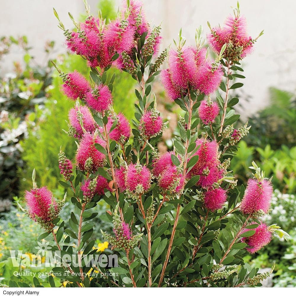 Callistemon Phoeniceus FIERY BOTTLEBRUSH SEEDS /'Bush Tucker Plant/'
