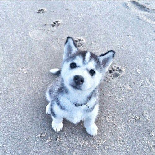 Husky Puppy At The Beach Cute Baby Animals Cute Animals Baby