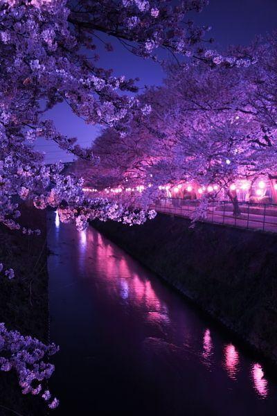 Yume Sakura von Cats  AX (ID 522090)  FotoSh  AX Cats cherryblossom is part of Beautiful places -