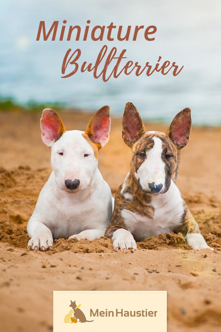 Der Miniature Bullterrier Sieht Zwar Aus Wie Eine Kleinere Ausgabe Des Standard Bullterriers Ist Aber Eine Eigen Bullterrier Miniatur Bullterrier Hunderassen