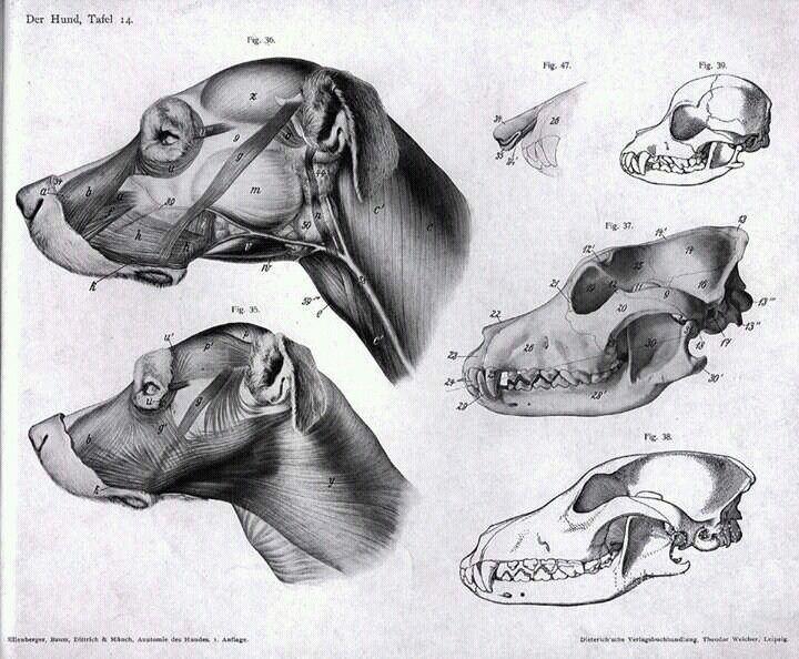 Anatomia de un craneo canino, esqueleto, musculos y tendones ...