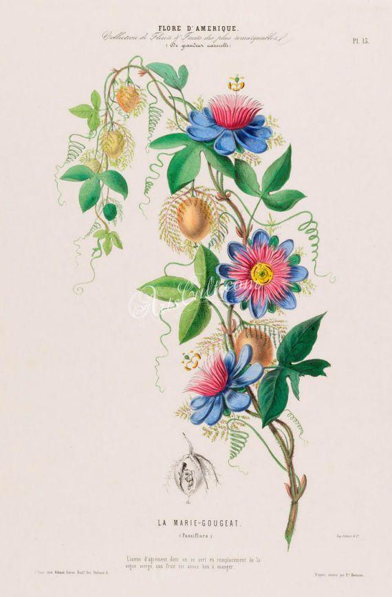 Flowers 18104 Passiflora Passion Flower Blue Red Digital Etsy Passion Flower Art Print Display Art Prints