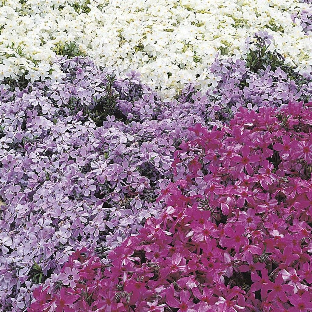 Low Maintenance Ground Covers That Suppress Weeds Creeping Phlox Red Creeping Thyme Ground Cover Plants