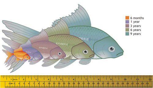 Feeder Goldfish Turn Into Ome Miraculous Large Fish Infographic Goldfish Goldfish Aquarium Aquarium Fish