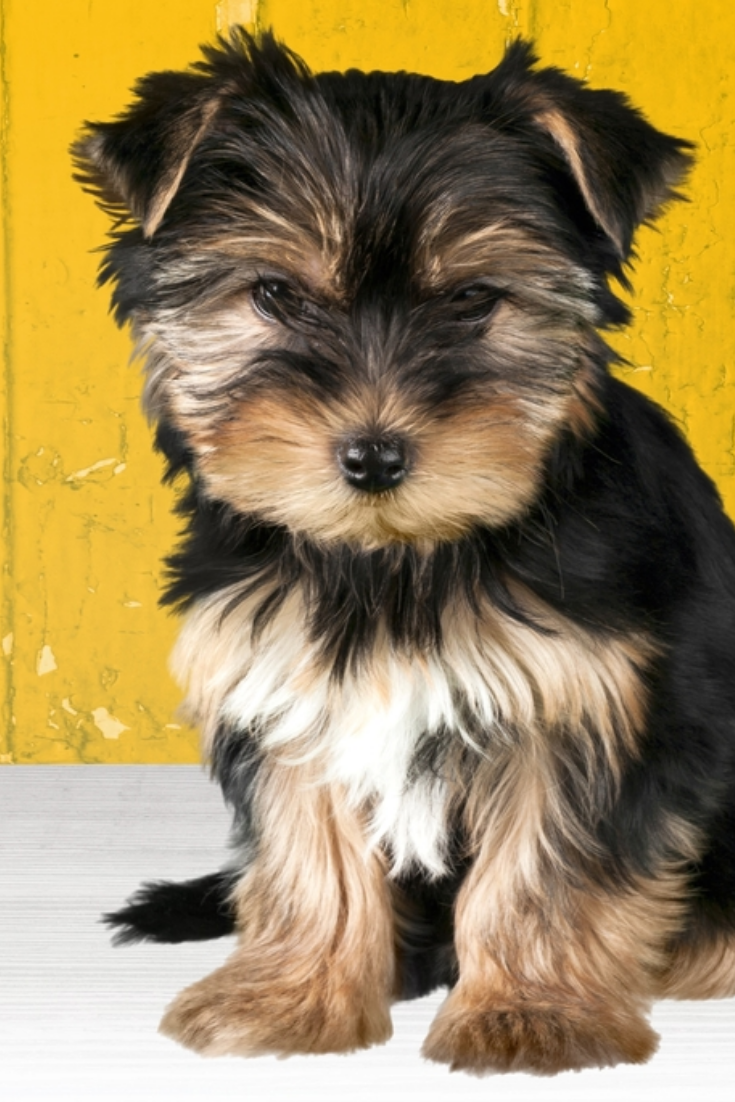 Dog Puppy Yorkshire Terrier Yorkshireterrier In 2020 Yorkshire Terrier Terrier Yorkie