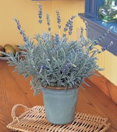 Growing Lavender (\'Goodwin Creek Grey\') | Lavender care, Water wise ...
