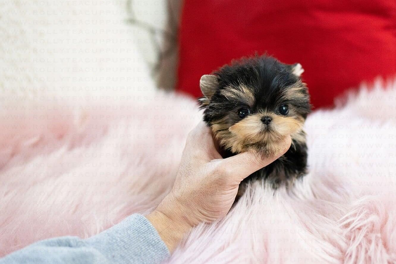 Teacup Yorkie Puppies For Sale In 2020 Yorkie Teacup Yorkie Yorkie Puppy