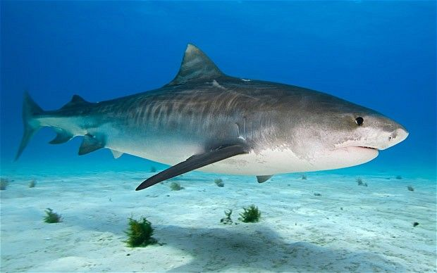 Image result for tiger sharks