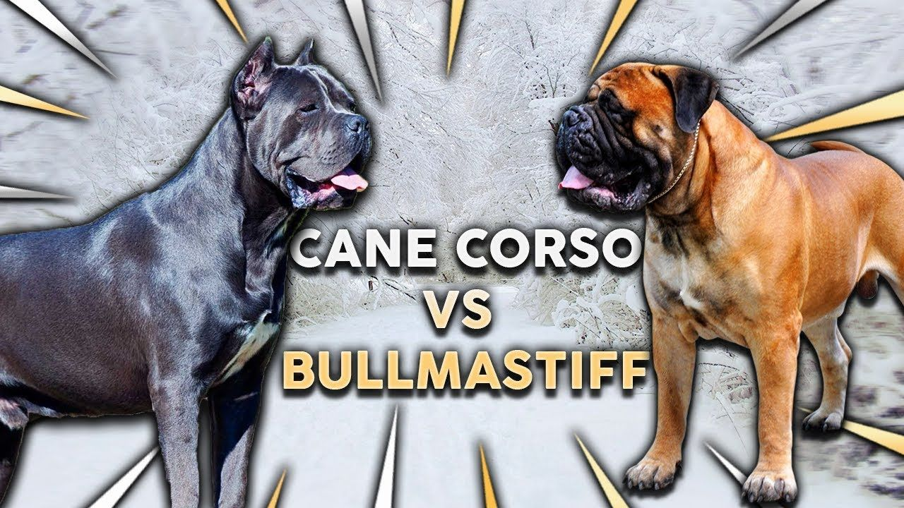 Cane Corso Vs Bullmastiff What S The Best Family Guard Dog Cane Corso Charakterstarker Italiener Mydog365 Magazin Flounder In 2020 Cane Corso Bull Mastiff Corso Dog
