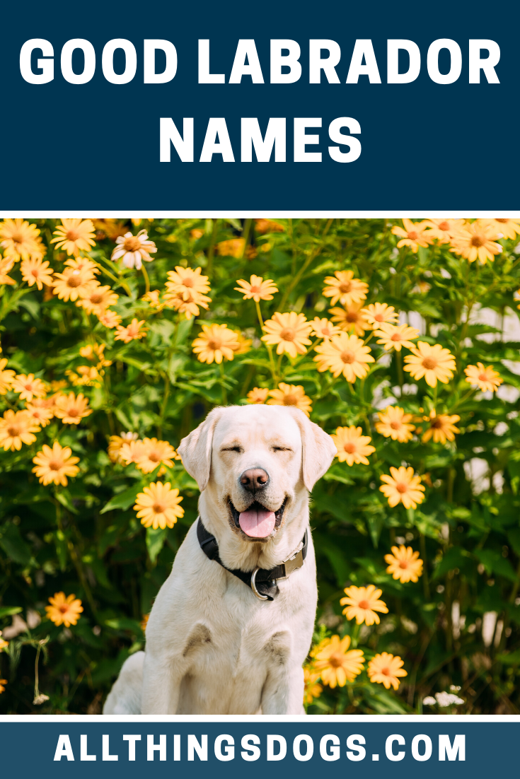 We Think That Some Of The Best Monikers Can Be The Simplest One Of Our Favorites Has To Be Bailey It S Perfect For In 2020 Yellow Lab Names Labrador Names Labrador