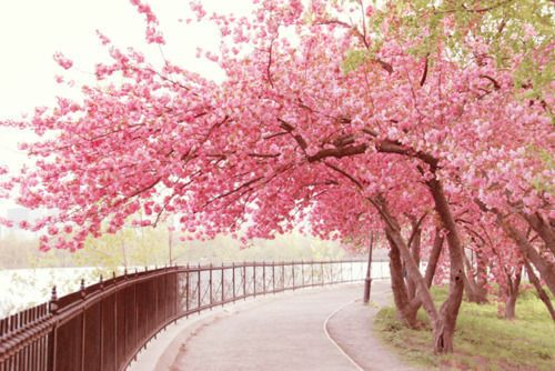 Walk In The Park Blossom Trees Tree Photography Cherry Blossom Tree