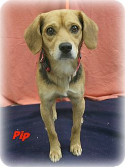 Melbourne Ky Beagle Mix Meet Pip A Dog For Adoption Http Www Adoptapet Com Pet 12548747 Melbourne Kentucky Beagle Mix Beagle Mix Dog Adoption Dogs