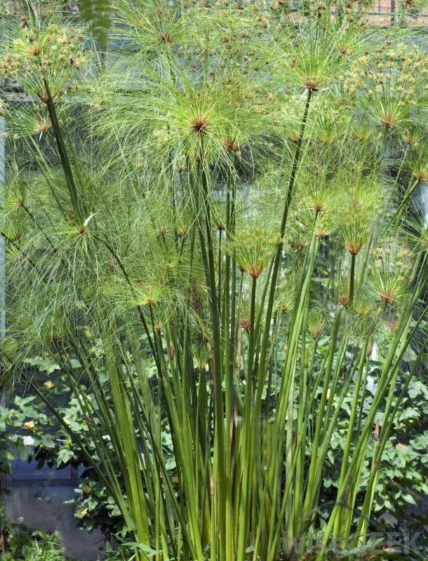 What Is Papyrus With Pictures Plants Coastal Gardens Dream Garden