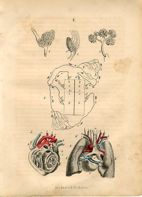 """1875 F.Martin HUMAN HEART LUNG ANATOMY Antique Hand Coloured Print.   Original old German hand coloured engraving print/book plate(not a modern reproduction) by F.Martin.   Printed by Art Anst.v.E.Hochdanz,Germany in 1875. The overall size of this print with margins approximately 7"""" x 5 1/4""""."""