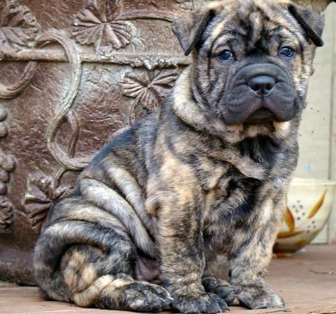 Bully Pei- English Bulldog/Mini Shar pei For sale on Ebay