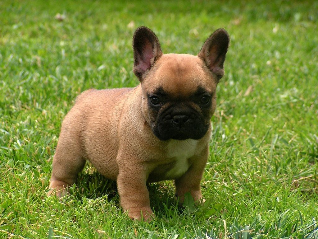 This Is The Cutest Puppy French Bulldog Puppies Bulldog Puppies French Bulldog