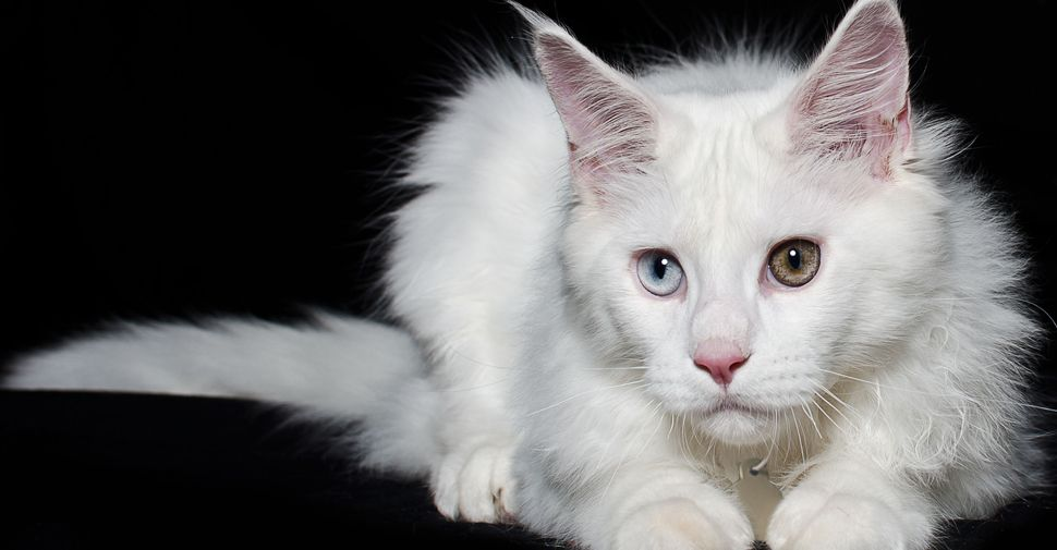 Meet The White Cat Breeds White Cat Breeds Cat Breeds Rare Cats