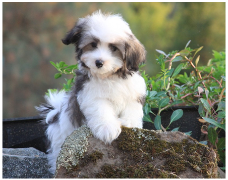 Havanese Puppies For Sale In Westchester Ny Nyc Stamford Ct Havanese Puppies For Sale Lap Dog Breeds Havanese Dogs