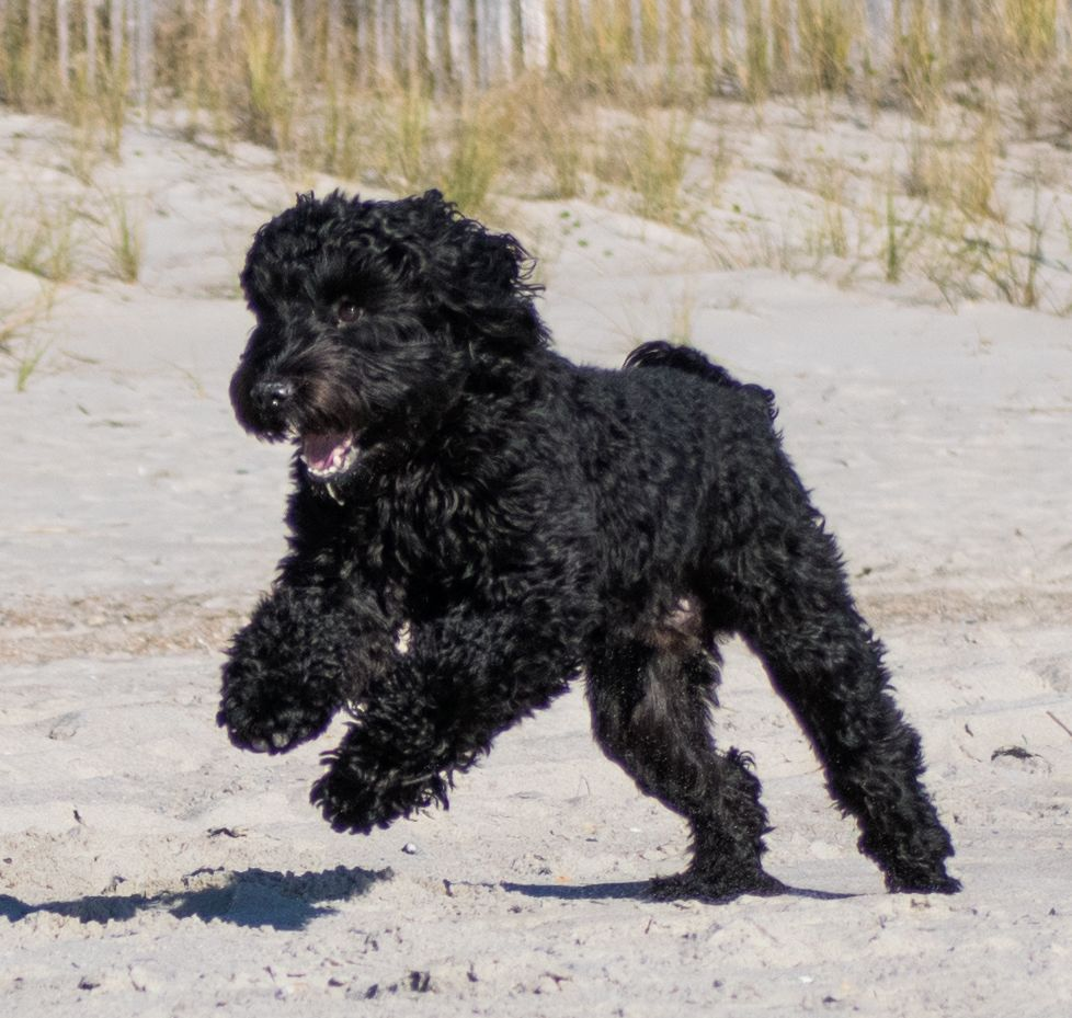 Another happy DownUnder Labradoodle romping at the beach
