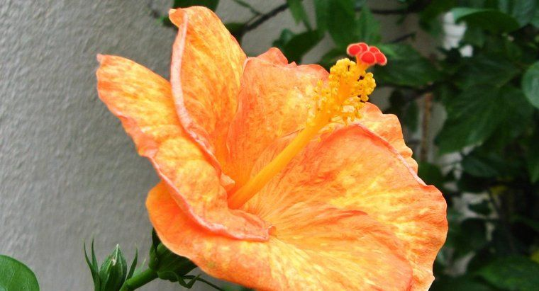 Why Are The Leaves Of My Hibiscus Turning Yellow With Images Hibiscus Plant Hibiscus Leaves Hibiscus Flower Drawing