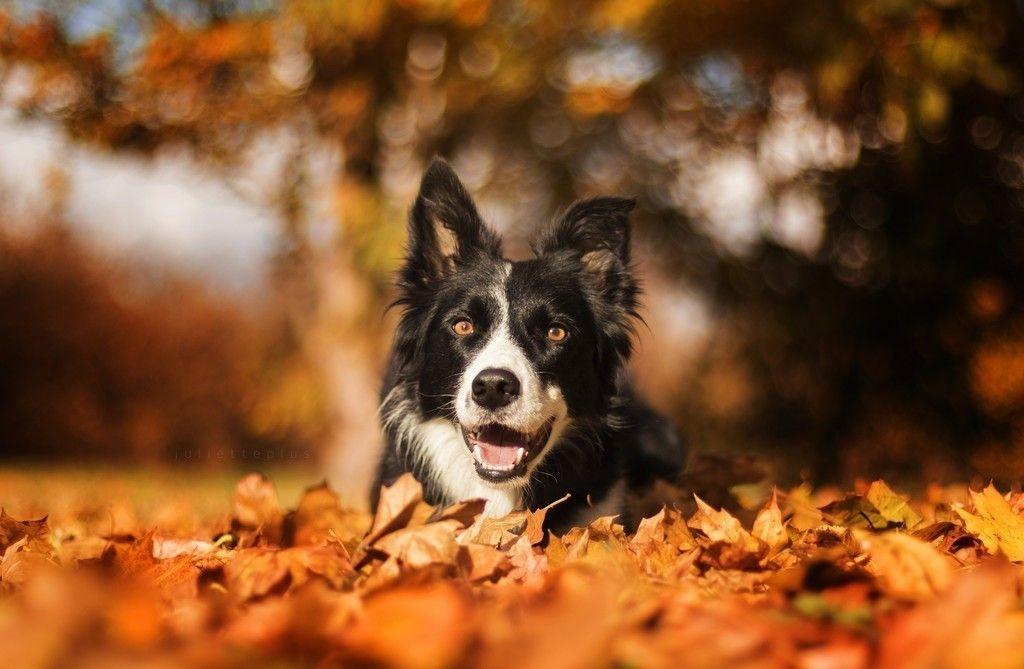 Border Collie Muzzle Bokeh Autumn Outdoor 4k Wallpaper Border Collie Collie Dog Collie