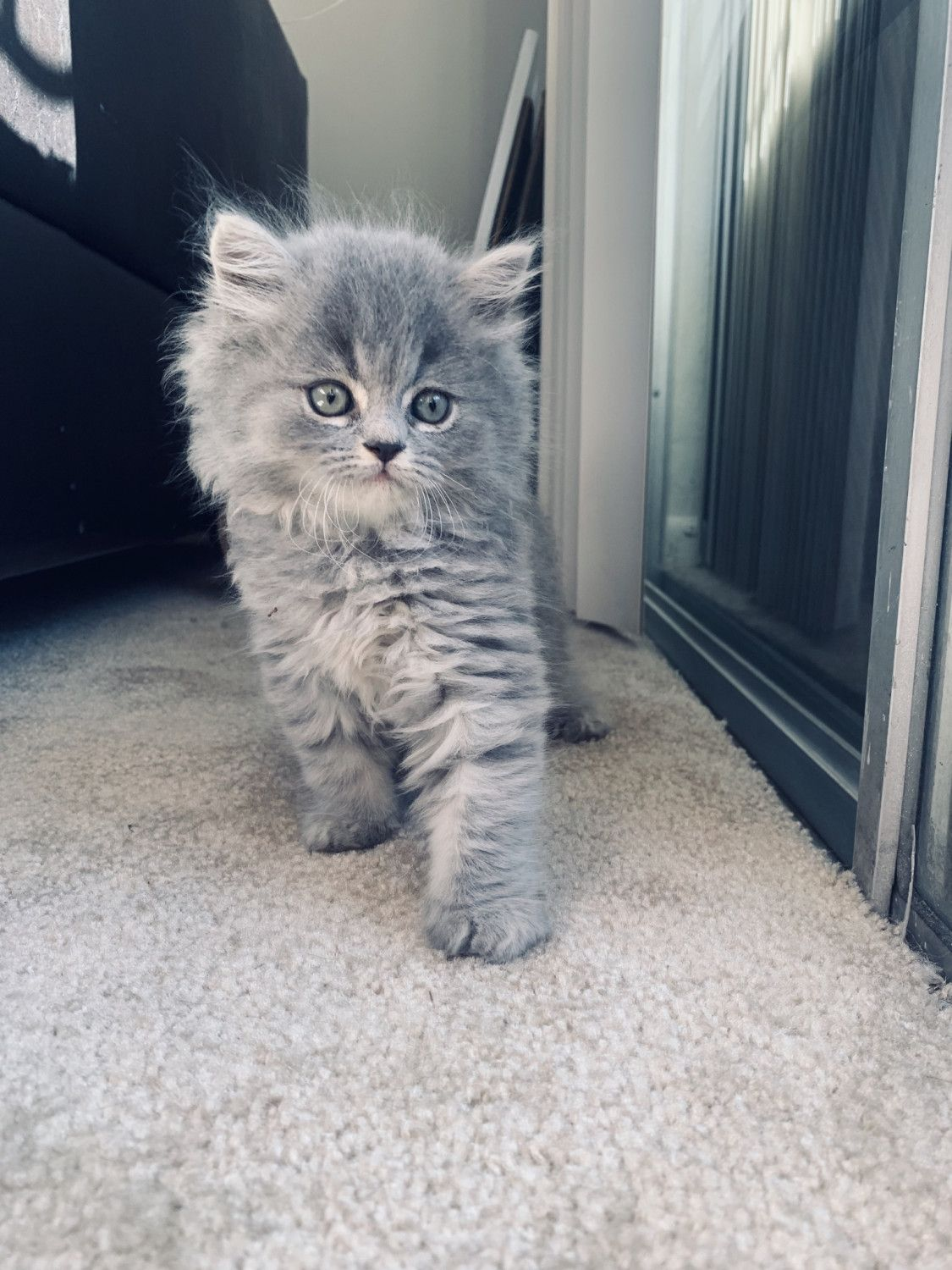 British Longhair Cats For Sale Miami Fl In 2020 Cats British Shorthair Kittens Cats For Sale