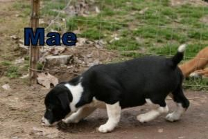 Adopt Mae On Petfinder Border Collie Dog Petco Border Collie