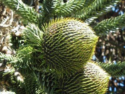 Monkey Puzzle Pine